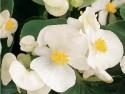Begonia, Prelude